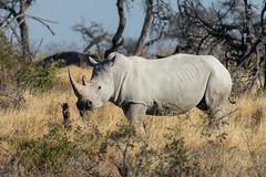 2018_Etosha_National_Park,_Namibia-32 (johnrobjones) Tags: etosha namibia national rhinoceros africa birds mammals park white wildlife