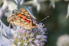 Painted Lady (Mac ind Óg) Tags: islasbaleares summer macro spain paintedlady minorca balearicislands insect calanbosch walking menorca vanessacardui butterfly holiday españa sonxoriguer illesbalears