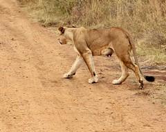 Her udders (Nagarjun) Tags: lioness nairobinationalpark kenya eastafrica wildlife carnivore bigcat bigfive female safari gamedrive