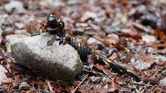 Feuersalamander mit einem Auge (Aah-Yeah) Tags: feuersalamander firesalamander salamander schwanzlurch caudata achental chiemgau bayern
