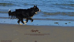 Where I belong (ASHA THE BORDER COLLiE) Tags: cynefin quote beach border collie dog sand running capture ashathestarofcountydown connie kells county down photography littledoglaughedstories