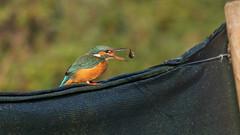 Breakfast at Gadespring... (petegatehouse) Tags: kingfisher stickleback fish food feeding tossing female bird