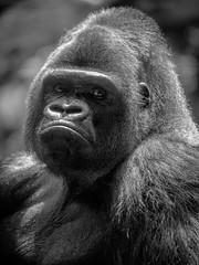 Gorilla-Porträt (maik_sen) Tags: porträt portrait gorilla blackwhite black white gesicht face animal tier tiere animals zoo tierpark nature natur augen eyes