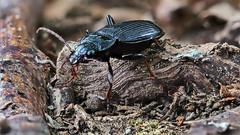 Pterostichus spec., Laufkäfer / ground beetle (tho.pieper) Tags: carabidae laufkäfer lumixgx80mitolym60mmmacro postfocusstack pterostichusspec