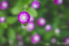 3K7A5293 (crazydawn2) Tags: ladew gardens flower purple green