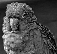 'Hey, it's Friday!'😊👍😊 (LeanneHall3 :-)) Tags: blackandwhite mono parrot feathers beak closeup closeupphotography wildlife bird animal eastpark aviary canon 1300d