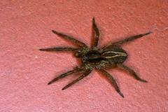 Alopecosa cuneata femelle (?) (chug14) Tags: macro araignée spider nature naturephotography animalia arthropoda arachnida araneae lycosidae araneuscuneatus alopecosacuneata araignéeloup wolfspider