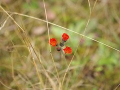 Orangerotes Habichtskraut - Hieracium aurantiacum (Asteraceae) (1elf12) Tags: flower harz germany deutschland orangeroteshabichtskraut hieraciumaurantiacum asteraceae