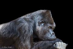 Gorilla - 03091810 (Klaus Kehrls) Tags: gorilla affen tiere portrait zoorostock