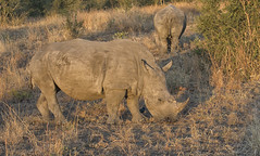 White Rhinoceros (sspike@rogers.com) Tags: rhinoceros white kruger steverossi endangered dawn canon southafrica