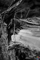 Sturmschäden (v a n d e r l a a n . fotografeert) Tags: 201809072480 duitsland germany boom bos forest monochrome monochroom stam stormschade sturmschäden tree trunk vakantie2018 vanderlaanfotografeert wald