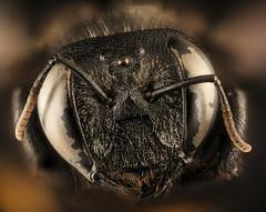 Xylocopa lugubris, f, face, Krugar National Park, South Africa Mpumalanga_2018-07-17-22.19 (Sam Droege) Tags: unitedstatesgeologicalsurvey departmentoftheinterior beeinventoryandmonitoringlaboratory bugs usgs krugernationalpark southafrica erickhernandez macrophotography entomology carpenterbee taxonomy:binomial=xylocopalugubris