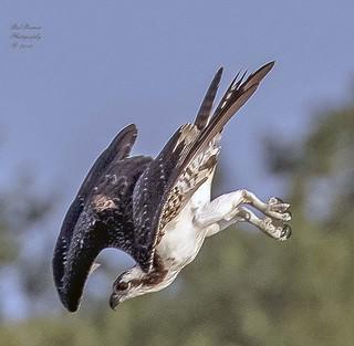 Osprey on a Dive.