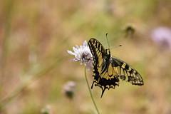 Papilio machaon (esta_ahi) Tags: castellvídelamarca penedès barcelona spain españa испания mariposa papallona butterfly lepidoptera insectos fauna papilio machaon papiliomachaon papilionidae
