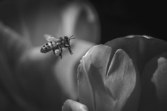 The Nature of Bees (GLN IMAGES) Tags: bee tulips perth d850 nikon bees flowers nature beautiful bnw blackandwhite bokeh