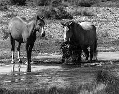 024693763778-105-Wild Horses at Alkali Flat Hot Spring Nevada-10-Black and White (Jim There's things half in shadow and in light) Tags: 2018 america milkyway mojavedesert nevada september southwest usa alkalispringsnevada animal carforestofthelastchurch desert goldfield horse lightpainting mustang water wild blackandwhite monochrome