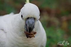 Cockatoo (Theo Crazzolara) Tags: cockatoo parrot bird animal australia sydney wild wildlife nature natural food cute talking