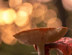 Mushrooms@FTW (Willem Vernooy (FoToWillem)) Tags: nature natuur macro lensflare paddo paddoos paddestoel mushroom autumm herfst nikon 105mm seizoen season bos woods closeup colorful colores outside ftw fotowillem willemvernooy sluitertijd shutter nederland netherlands surea oosterhout holland hollanda