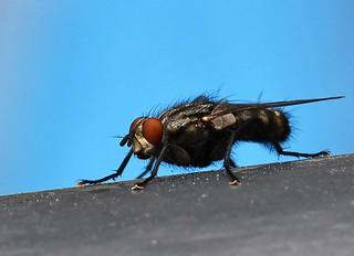 Makro Fliege