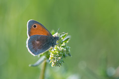 Small Heath (Tim Melling) Tags: coenonympha pamphilus small heath butterfly west yorkshire timmelling