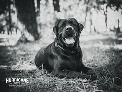 HLB&C (Blackcatstudio) Tags: labrador black gx80 sigma portrait dog breed male baddy pet 30 panasonic 14 park blacklab happydog cutedog microfournerds kiev ukraine