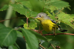 Magnolia Warbler - Sep-09-2018 (2-1) (JPatR) Tags: 2018 buffaloparkforestpreserve foxrivervalley illinois kanecounty magnoliawarbler september summer bird nature warbler wildlife