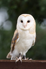 Barn Owl Portrait (Roy Lowry) Tags: barnowl chesterfalconry tytoalba