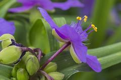 MS Bot Garten 17062018 25 (Dirk Buse) Tags: münster nordrheinwestfalen deutschland deu germany natur nature outdoor pflanze nrw blüte flora mft mu43 m43 botanischer garten uni