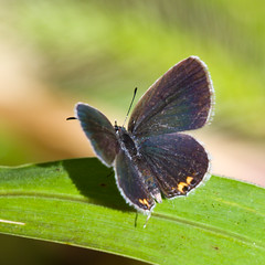 Eastern Tailed Blue (ramseybuckeye) Tags: eastern tailed blue butterfly hermon woodlands allen county ohio