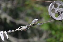 2018-09-10 Bird Watching 17 (s.kosoris) Tags: skosoris nikond3100 d3100 nikon bird birds chickadee camp huronian