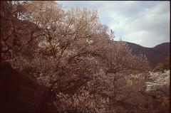 (✞bens▲n) Tags: pentax lx velvia 100f carl zeiss 35mm f24 flektogon film analog japan nagano ueda sakura cherry blossoms trees