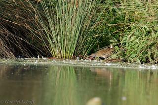 Râle d'eau-Rallus aquaticus - Water Rail 0189_DxO.jpg