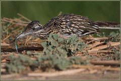 Roadrunner with a 'Fly 4881 (maguire33@verizon.net) Tags: sanjacintowildlifearea bird roadrunner wildlife