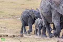 20180805IMG_7382.jpg (jmcenern) Tags: africa elephant amboselinationalpark kenya