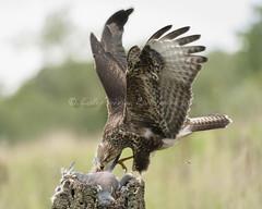Buteo buteo (pixellesley) Tags: bird birdwatching wild free feeding perched commonbuzzard buteobuteo lesleygooding wildlife uk