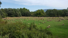 20180910_114619 (St.Antonin) Tags: 2018 saintantonin paca france provence jouques southoffrance south mouton sheep