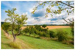 Mirabelles (Pascale_seg) Tags: paysage landscape country countryside countryscape arbre tree champs mirabelliers mirabelles fruit jaune yellow prune moselle lorraine grandest france nikon été summer nature campagne earth terre agriculture verger