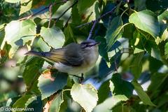 Red-eyed Vireo (Douglas M. Winn) Tags: songbird northshore vireo redeyedvireo vireoolivaceus