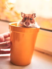 Ellie. <3 (Jarriet Poter) Tags: hamster pet sony a7ii zeiss 35mm 14 cup yellow