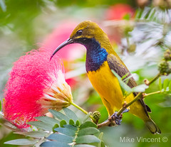 Olive-backed Sunbird male~2 (Hickenbothom) Tags: olivebacked sunbird nectarinia jugularis australian native bird
