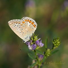 Blauling_klee (olga_rashida) Tags: schmetterling butterfly papillon hauhechelbläuling gemeinerbläuling commonblue argusbleuouazurécommun azurédelabugrane polyommatusicarus