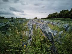 Cabbage Field (t_p_n) Tags: klippinge regionzealand denmark dk cabbage