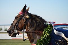 DSC_6636 (emina.knezevic) Tags: winner laurel wreath racing racingpictures equestrian equine equestrianphotography equestrianphotographer nikon nikonpotography nikonphotographer horses horseracing horse harness harnessracing trotter nikond3200