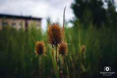Thistles in action (PeterFineart) Tags: nature naturelovers natural rain clouds bokeh landscape macro spider wild landmark czech czechia day daylight moody