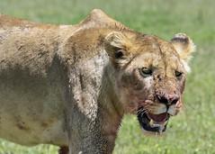 Nature in the raw (tmeallen) Tags: lioiness pantheraleo bloody fullofprey wildlife safari fies portrait openmouth ngorongorocrater ngorongorocaldera ngorongoroconservationarea rainyseason timeofplenty tanzania eastafrica