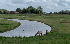 Two horses and a grey goose . . (Eduard van Bergen) Tags: water river biesbosch brabant blue green holland dutch netherlands niederlande pays bas open dikes land field wind vista landscape watercourse meadow outdoor sky light rivier clouds windy grass fields sun polder ditch sloot watergang eolus tree waterway reed farm life living still moor pferde chevaux paarden horses mustang pond geese grey birds waterbirds symbiose symbiosis shot handheld tele mare merrie wings flying fourageren animal sonyalphailce5000 sigmaart60mm28 friends