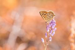 Lycaena tityrus (fabriciodo2) Tags: lycaenatityrus papillon nature macro tamron100400 nikon forêtdefontainebleau