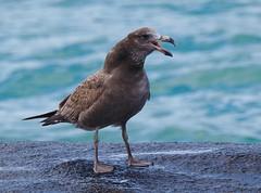 Pacific Gull (juv.) (tregotha1) Tags: cape leeuwin