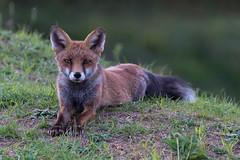 SNY_1437-1.jpg (steph-55) Tags: nikond800 nikon200500f56 steph55 renard fox loraine meuse verdun faune vulpesvulpes fuchs renardroux