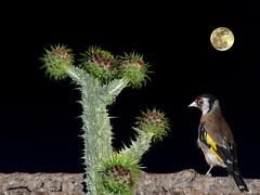 jilguero (JCMCalle) Tags: jilguero noche luna oiseau bird ave pájaro jcmcalle photohoot fhotografy photofrapher nofilter naturaleza nature naturephotography nofilters